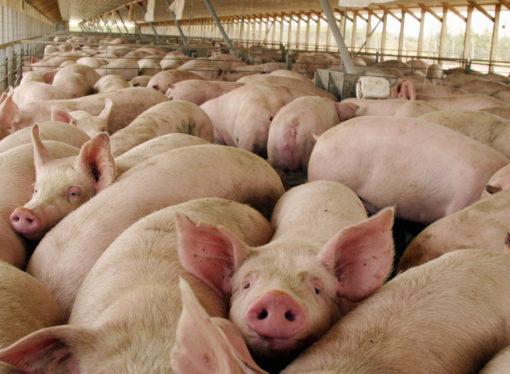 Advierten que podrían desaparecer la mitad de los criadores de cerdos