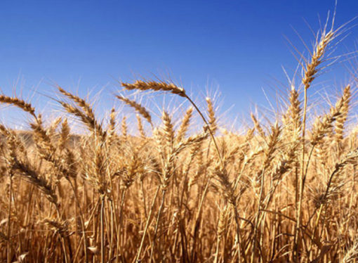 Con un 56,7 % de la superficie cosechada, el trigo promedia los 30,9 quintales