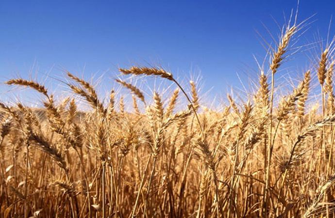 Trigo: rindes 15% menores y márgenes brutos negativos para algunos productores de Santa Fe