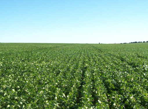 Los cultivos de verano marchan con viento a favor en Santa fe