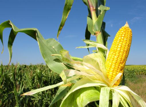 Por las retenciones, caen 200.000 hectáreas de maíz que pasarían a soja
