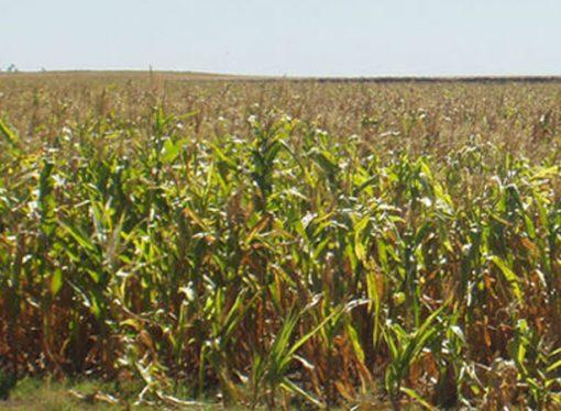 La sequía ya afecta al maíz tardío y a la soja en Santa Fe