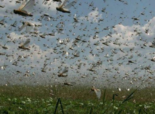 Por el ataque de langostas, Santa Fe está en zona de emergencia fitosanitaria hasta 2019