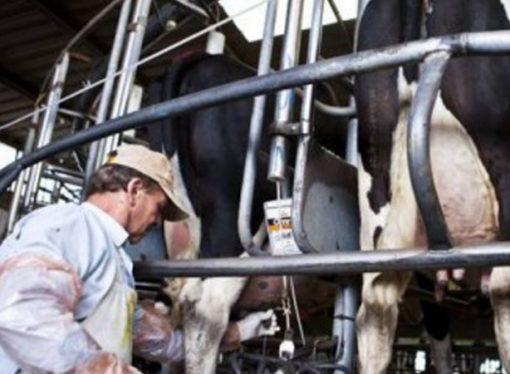 Crisis de la lechería: ya cerraron 604 tambos en lo que va del año