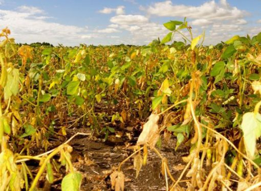 La sequía impacta a los cultivos de segunda