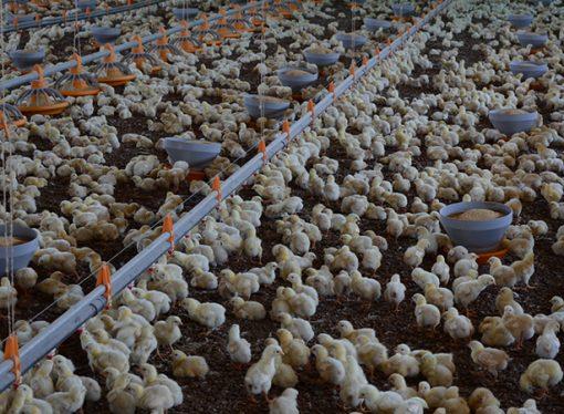 Santa Fe: promueven el asociativismo y el agregado de valor en la cadena avícola