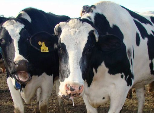 Resurge la ganadería; pero se advierte sobre la liquidación de vientres