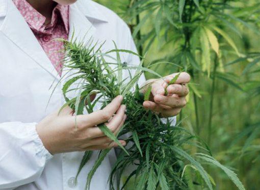 A la espera de las semillas, Santa Fe ya eligió el predio para cultivar cannabis medicinal