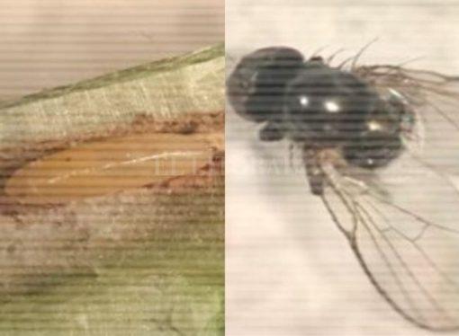 Detectan en Santa Fe una nueva plaga en soja