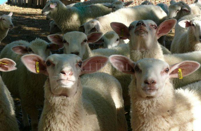 Producción ovina: disponen casi $ 6 millones para financiar la actividad en Santa Fe