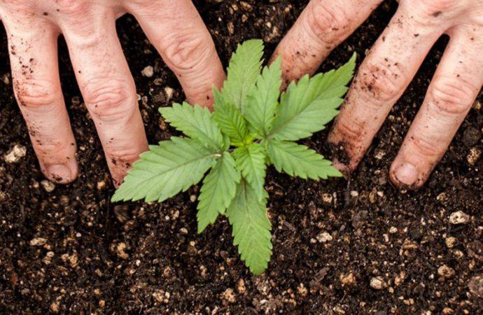 Arranca en el Senado santafesino el debate por el autocultivo de cannabis medicinal