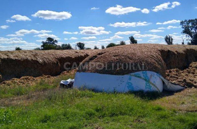 Rompieron 11 silobolsas en un tambo y dejaron sin alimento a las vacas
