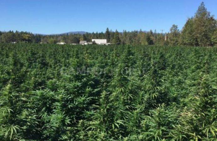 Cómo hará el INTA para sembrar cannabis en Santa Fe