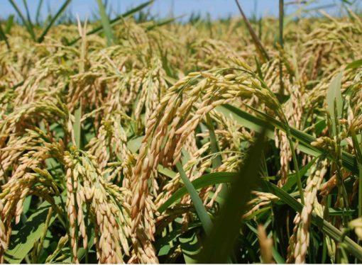Santa Fe se encuentra a la vanguardia en el mejoramiento genético del arroz